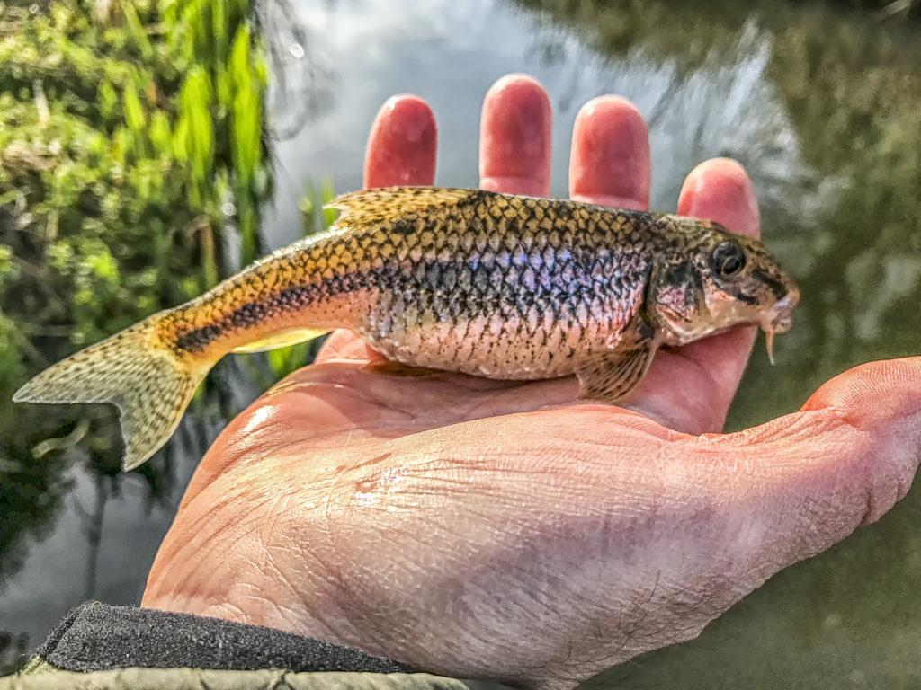 Rekord halak fenékjáró küllő