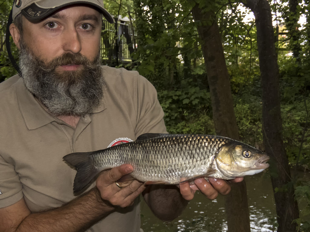 pergetett domolykó egy kis angol folyőn, river spinning chubb
